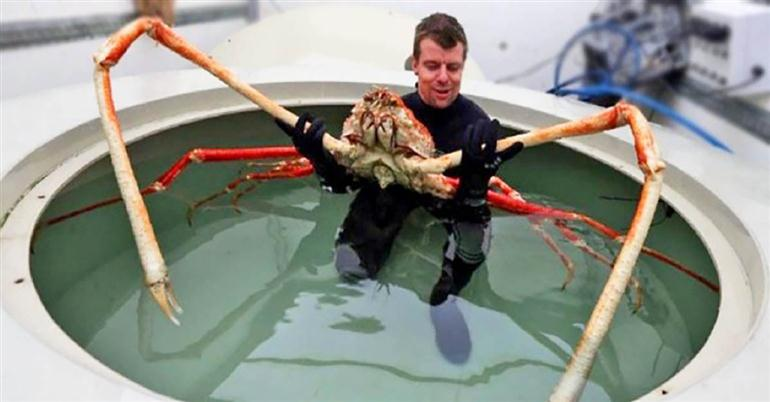 japanese-spider-crab