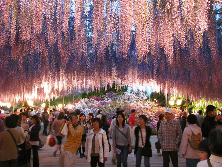 great-wisteria-festival