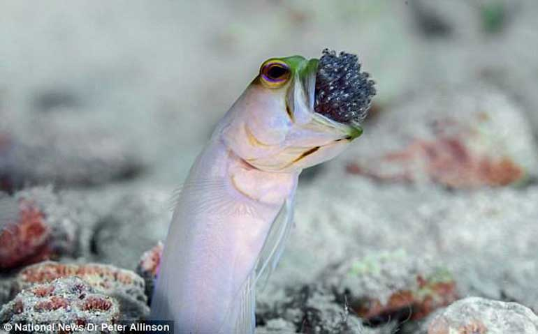 yellowhead-jawfish-best-dad