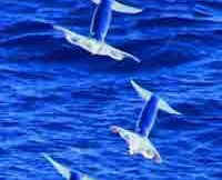 japanese-flying-squid