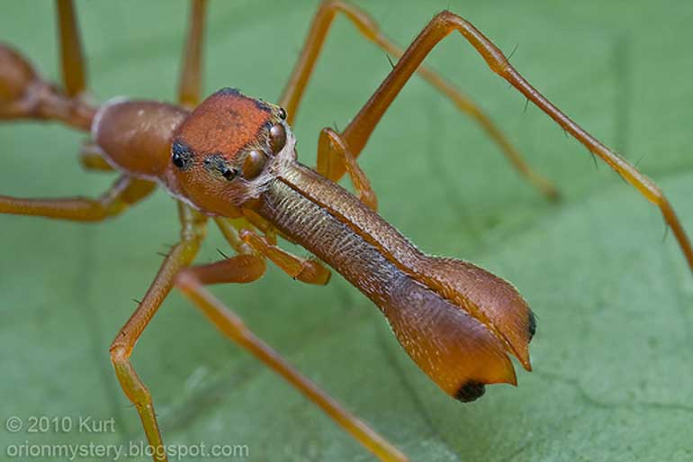 kerengga-ant-like-jumper