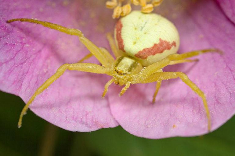 white-crab-spider
