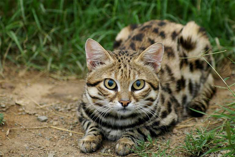 black-footed-cat