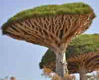 dragon-blood-tree