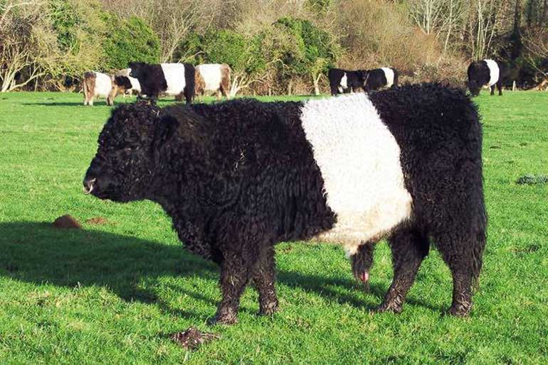 belted-galloway-cattle
