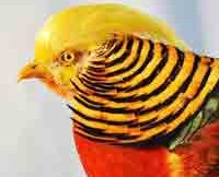 red-golden-pheasant