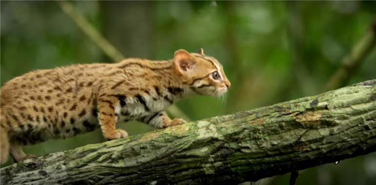 rusty-spotted-cat-worlds-smallest-cat