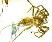 ancient-spiders-found-preserved-in-amber