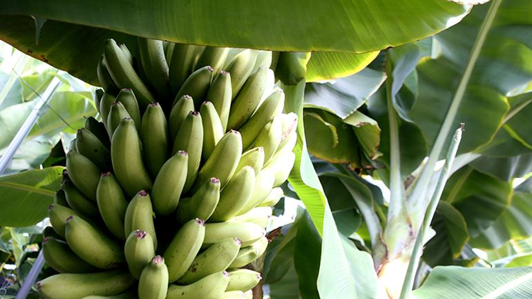 bananas-can-eat-the-shell