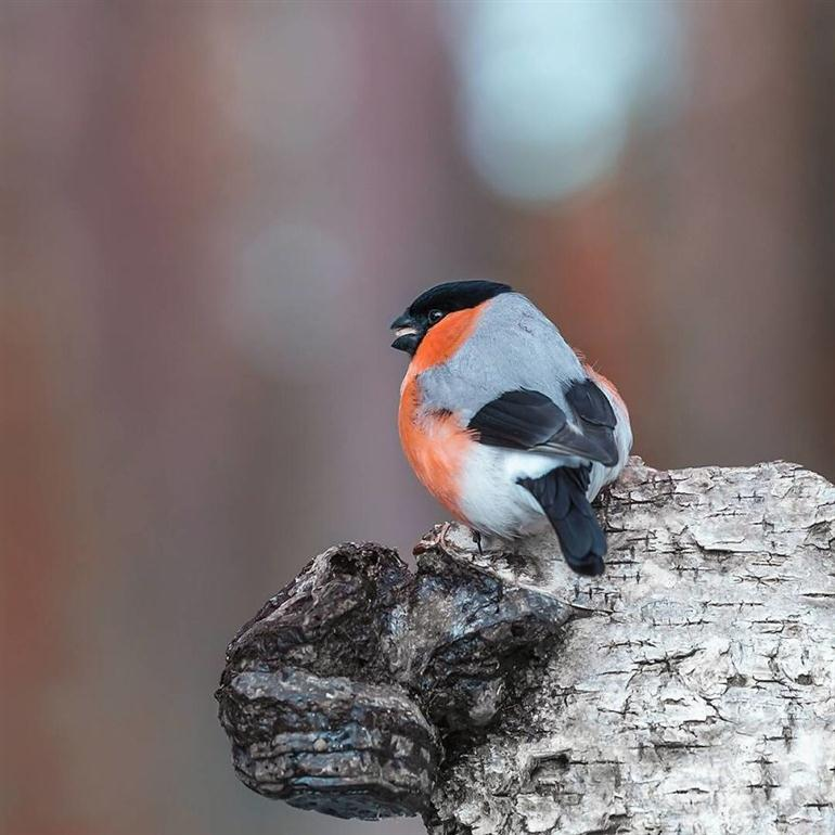 wild-bird-photography-finland-by-ossi-saarinen