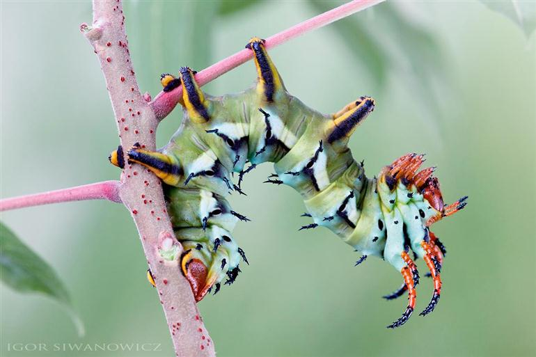 wildly-strange-caterpillars