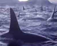 whale-watchers-encounter-a-group-of-over-300-orcas