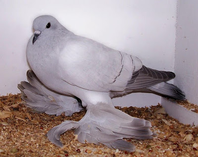 fancy-pigeon