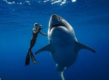 deep-blue-worlds-largest-ever-recorded-great-white-shark
