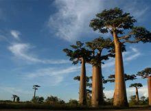the-bad-world-weather-is-killing-the-baobab-tree