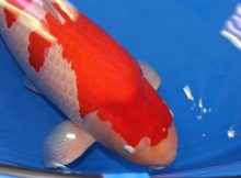 worlds-expensive-koi-carp