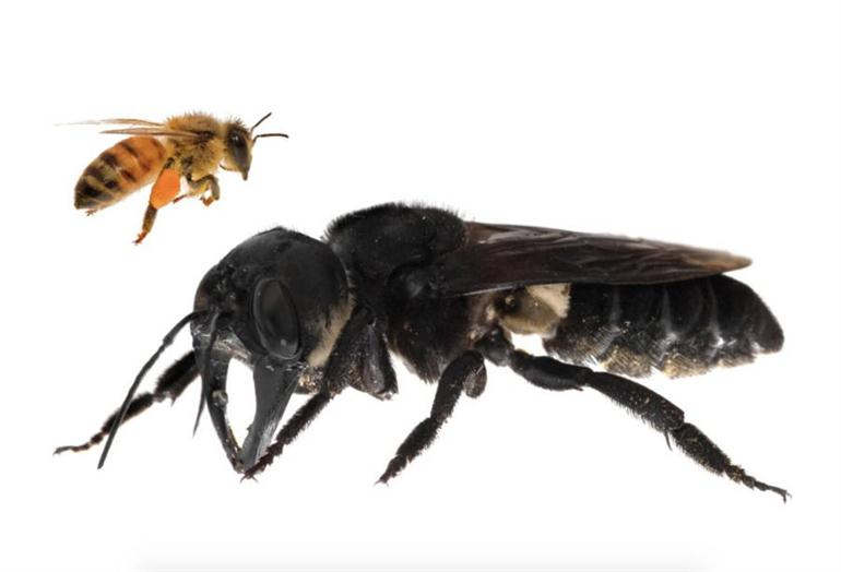 worlds-largest-bee-rediscovered