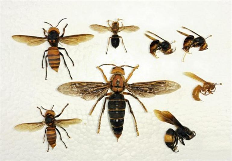 worlds-largest-killer-wasp-has-been-found-in-china
