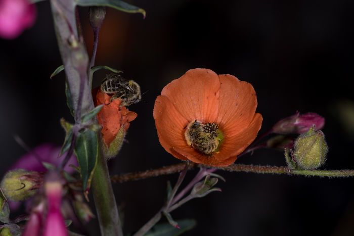 bees-sleeping-flower-nature-wildlife-photo