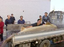 giant-sturgeon-caught-in-heilongjiang-river