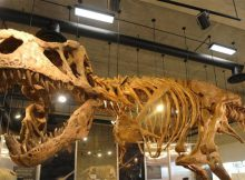 worlds-largest-ever-t-rex-discovered-in-canada