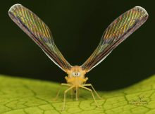 derbid-planthopper