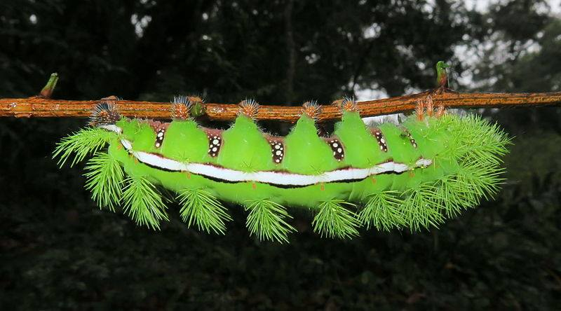 io-moth-caterpillar