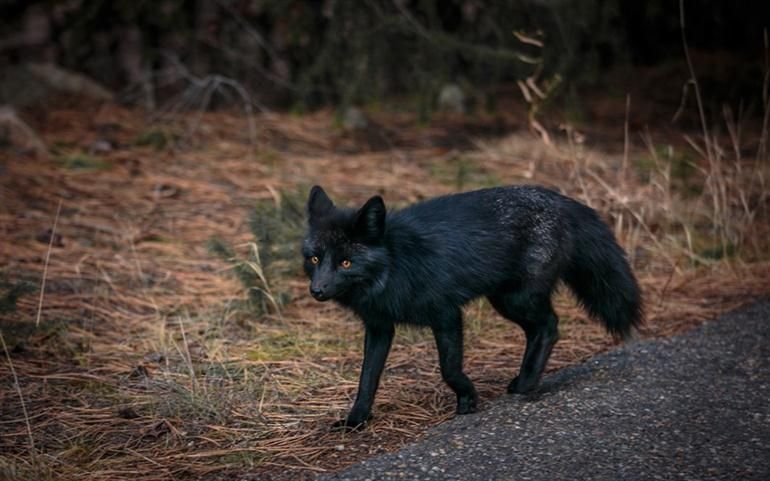 black-foxes