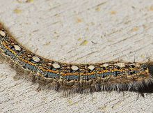Forest-tent-caterpillar-cover