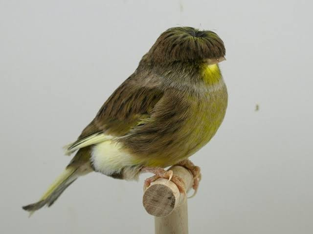 gloster-canary