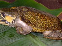 big-headed-turtle