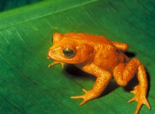 golden-toad