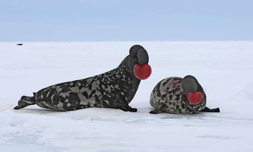 hooded-seal