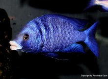 placidochromis-phenochilus-mdoka-white-lips