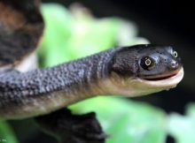 snake-necked-turtle-2
