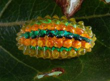 jelly-caterpillar