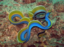 ribbon-eel