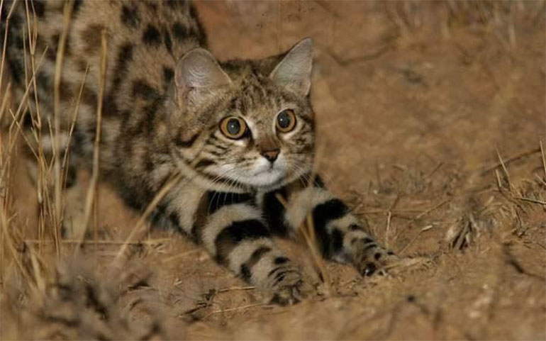 black-footed-cat-2