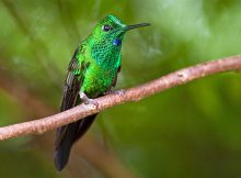 green-crowned-brilliant