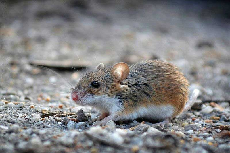 african-pygmy-mouse