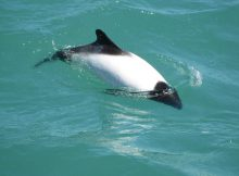 commersons-dolphin