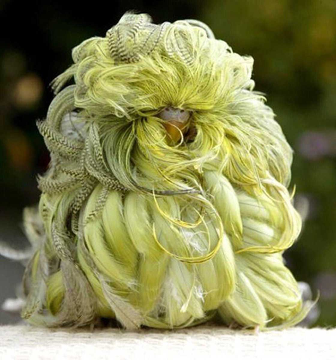 duster-budgie-2