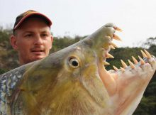 goliath-tigerfish-teeth