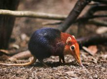 elephant-shrews