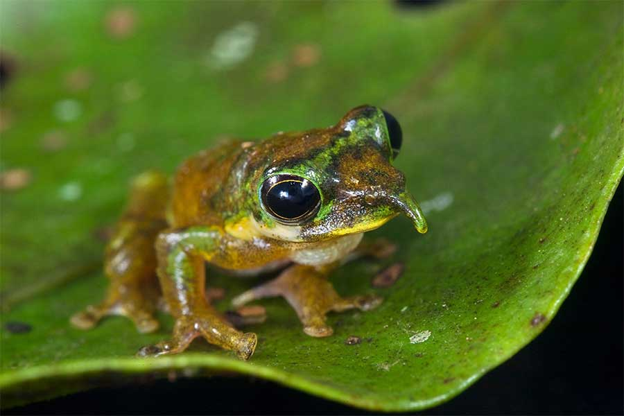 spike-nosed-tree-frog