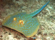 bluespotted-ribbontail-ray