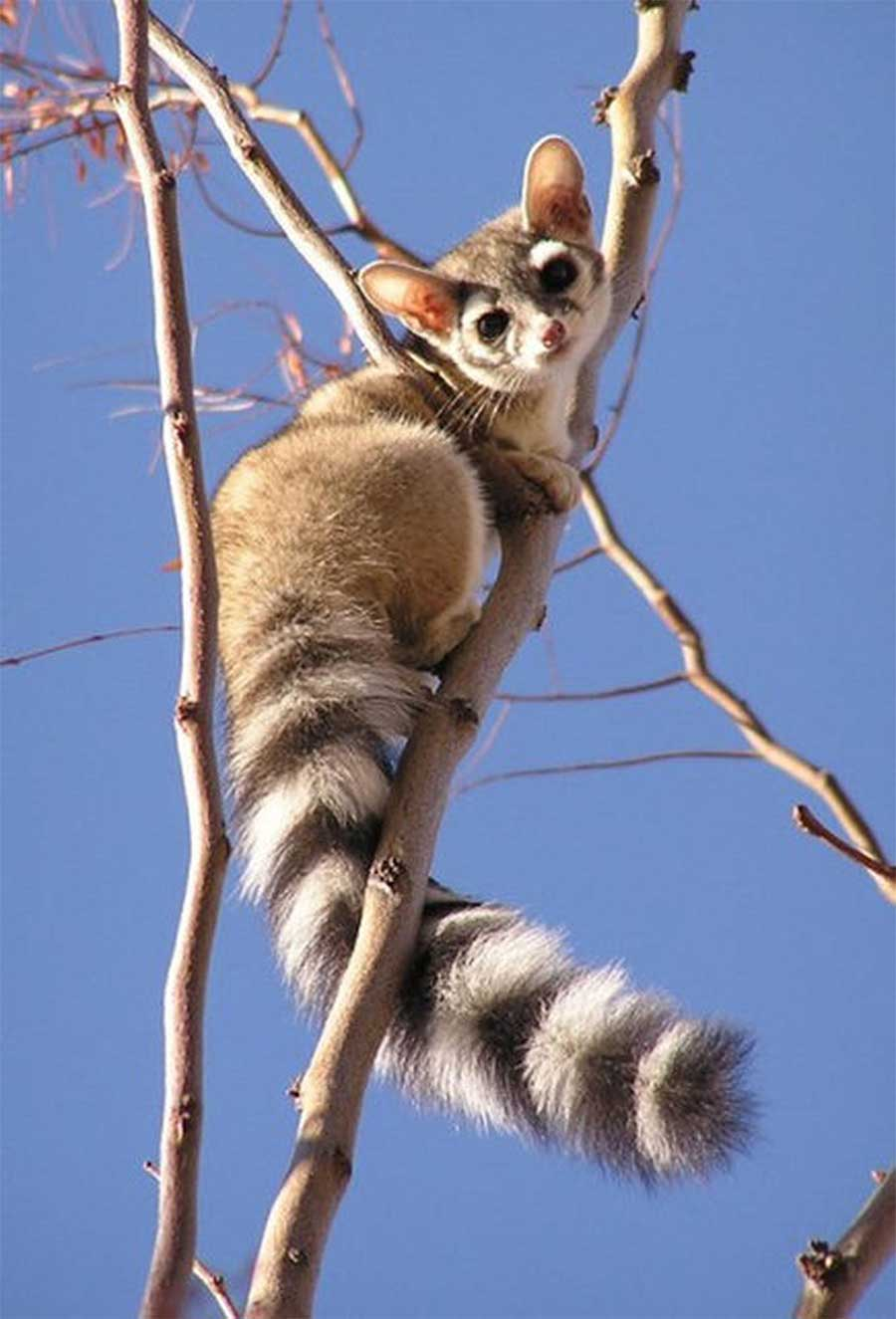 ring-tailed-cat