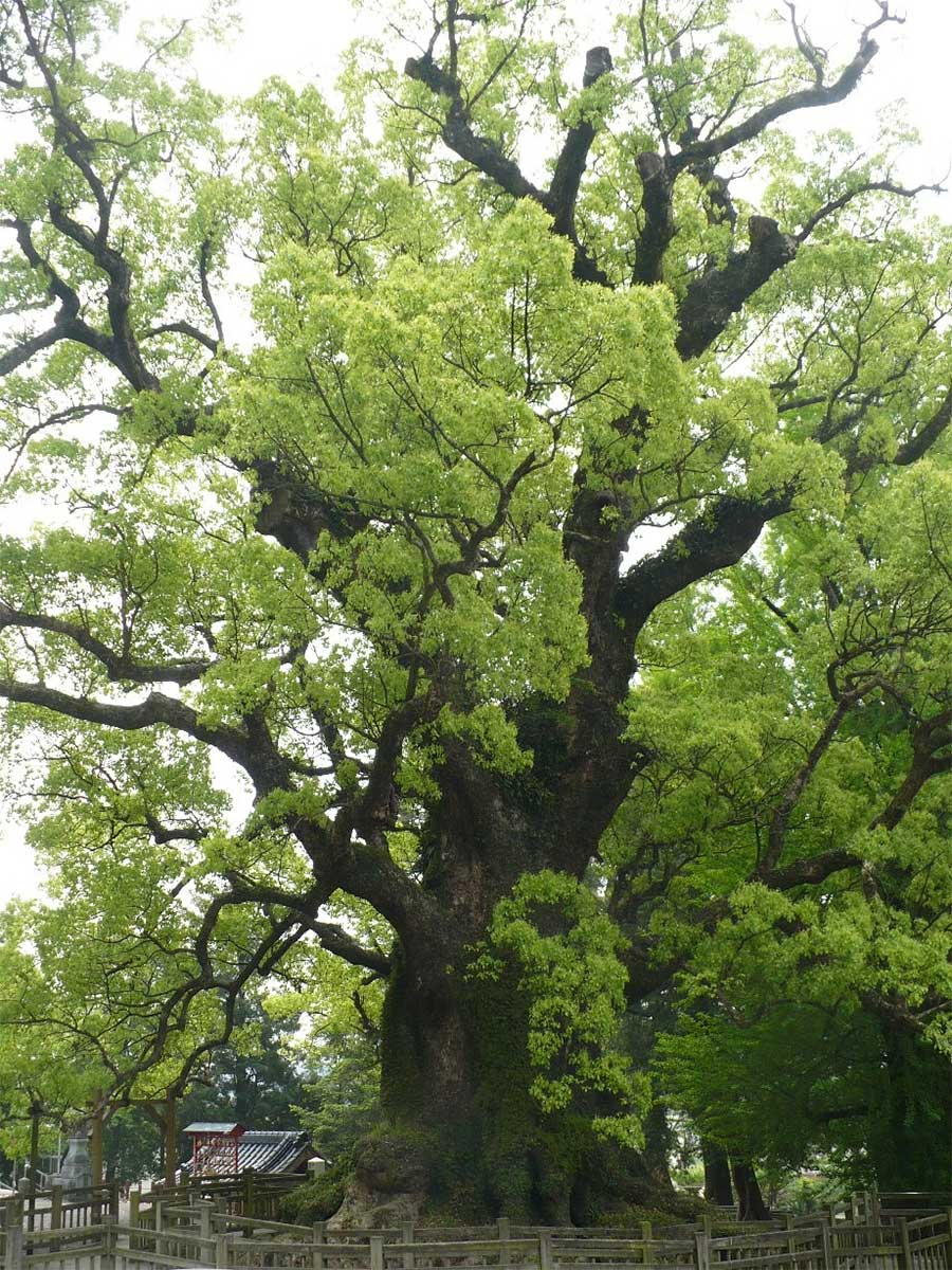 the-largest-camphor-tree-in-the-world